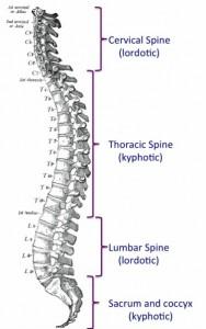 As vértebras